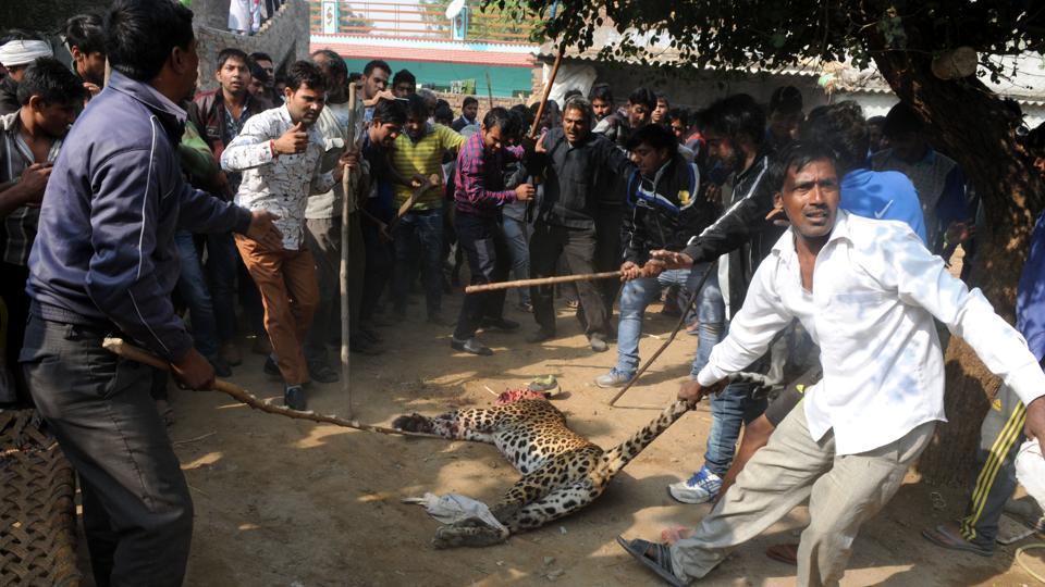Villagers beat a leopard that entered Mandawar village on November 24, 2016.