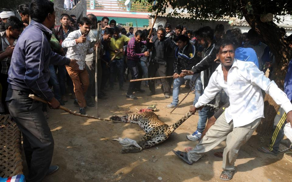 Frequent leopard strayings in the Mandawar area has been blamed on increasing man-animal conflict.