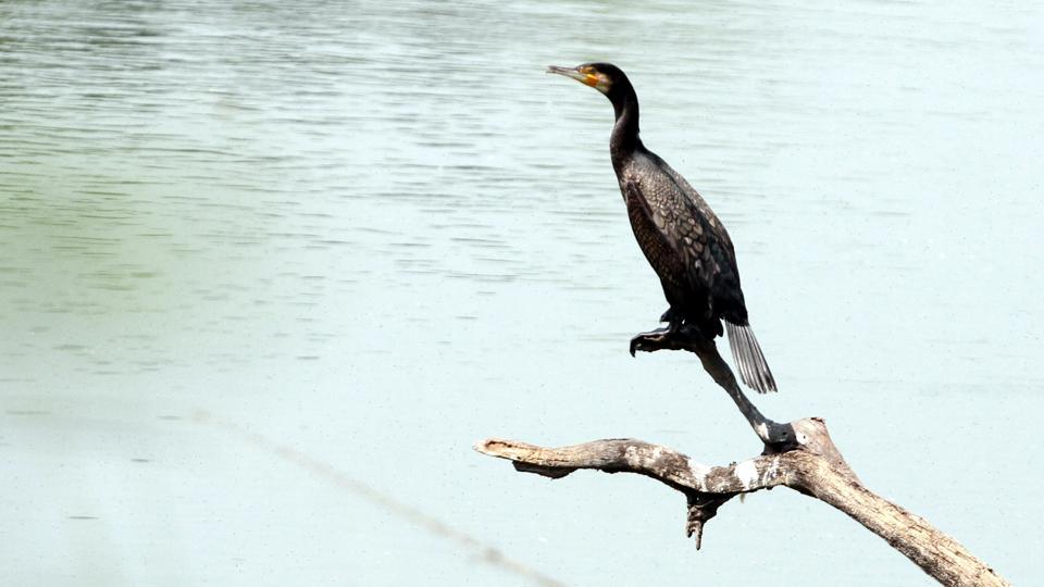 A little cormorant rests next to water.  (Jagtinder Singh Grewal/HT)