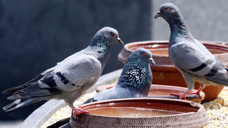 Pigeons gather around a water bowl as summer kicks in, in Ludhiana. (Jagtinder Singh Grewal/HT)