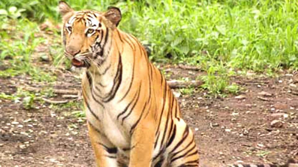 Missing tigers,Tiger population,Royal Bengal tiger