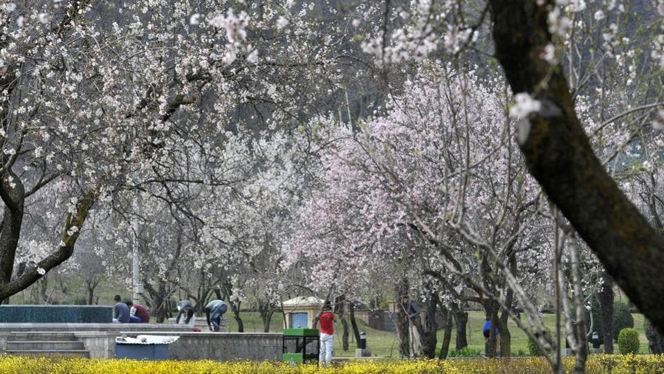 Almond trees at Badamwari in Srinagar are in full boom, marking the onset of spring. (Waseem Andrabi / HT Photo)