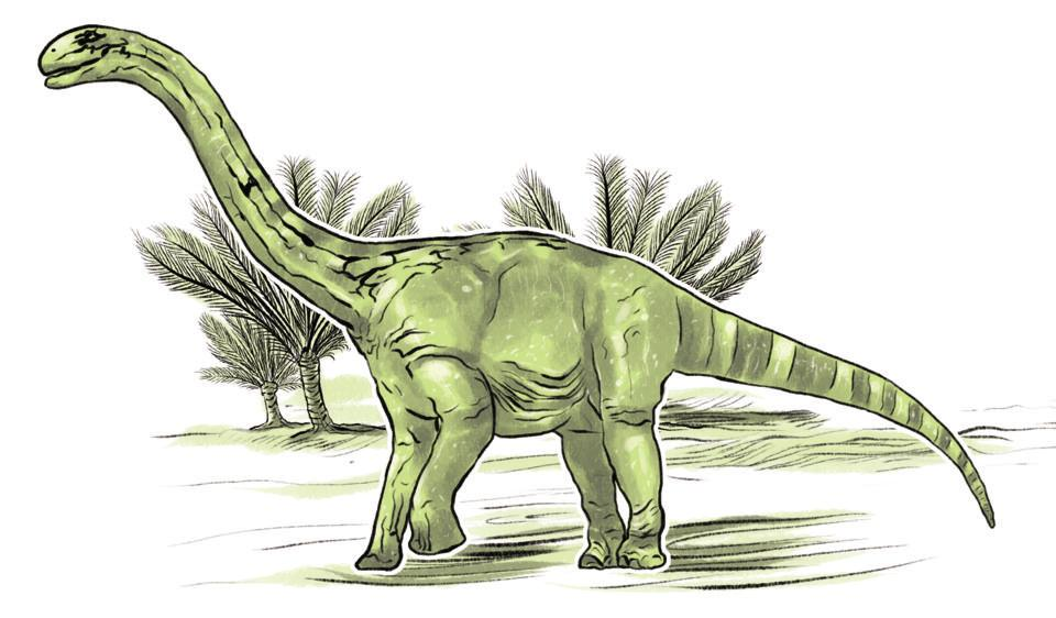 This gigantic vegetarian is called the Barapasaurus tagorei. It's named for its build (bara = big, pa = leg) and for Rabindranath Tagore, it weighed 14 tonnes and stood 15 metres tall – long-necked and 4 metres wide at the hips. It's also one of India's most complete skeletons, yielded from at least six individual animals excavated from Pochampalli, Telangana. We have every bone except for the skull and one vertebra. We even know it had spoon-shaped teeth. (Srikrishna Patkar/HT Illustration)