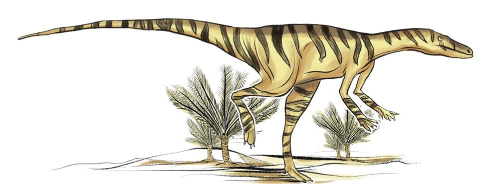 One of the earliest known dinosaurs, fossilised bones of this species were discovered in the red mudstone in Adilabad (now Telangana). The Alwalkeria maleriensis seemed to be built for speed and agility. It stood erect at 1.5 metres but weighed only about 3 kg – even its bones were hollow. It had straight, sharp front teeth, with side teeth curved backwards, and ate everything from plants and small animals to insects. (Srikrishna Patkar/HT Illustration)