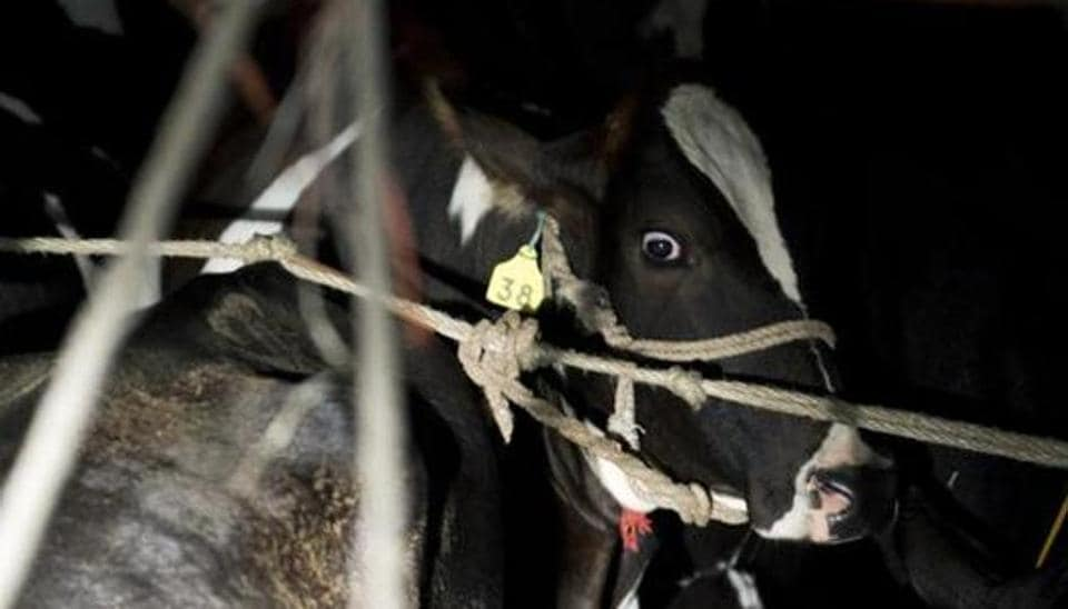 A cow is seen inside a truck stopped by volunteers of a cow protection group, on a highway in Taranagar in Rajasthan.