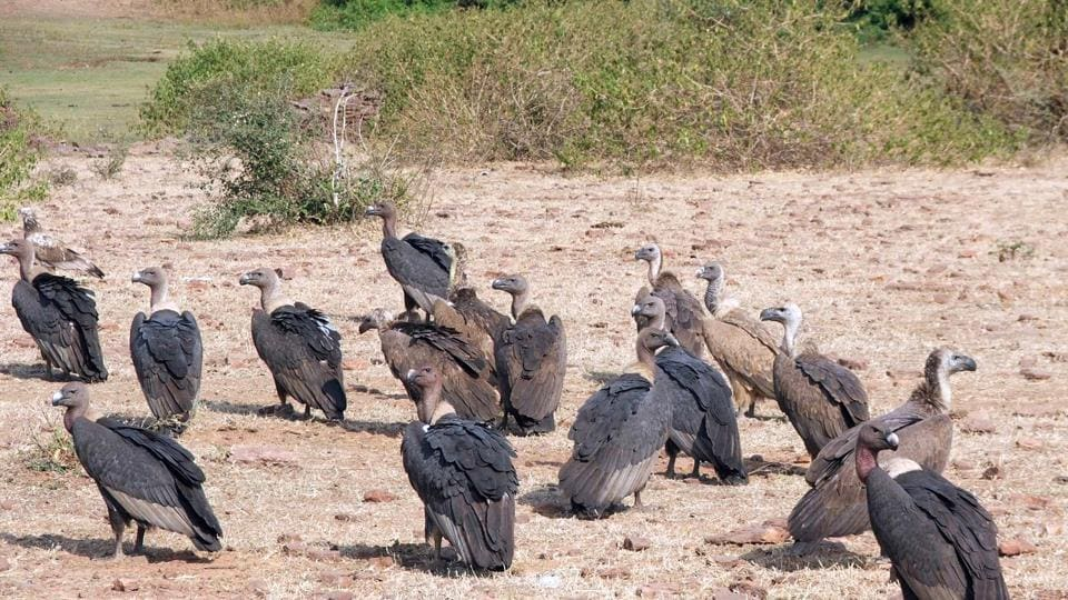 The vultures fed on cattle carcasses which contained veterinary drugs having high level of antibiotics leading to their deaths.