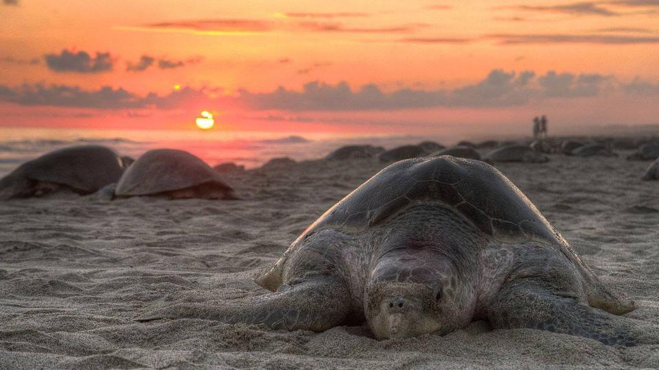 The Olive Ridley is a small-sized species of sea turtle, measuring about 2.5 feet in length.