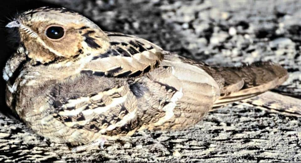 A Large-tailed nightjar, at night, on the dusty road to Perch dam.
