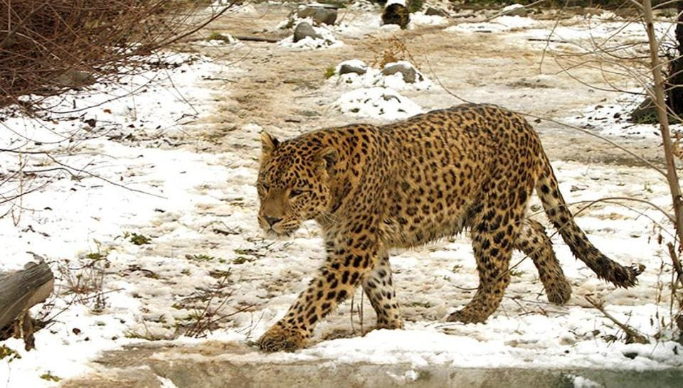 Poultry is not a wholesome choice, or a solution, as leopards need red meat to survive.