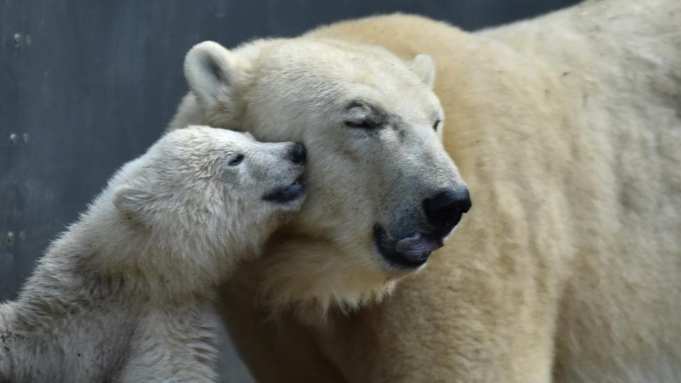 Mother bear Giovanna (R) is pictured with her four month young baby bear at the zoo of Hellabrunn in Munich, southern Germany. (Christof Stache / AFP)