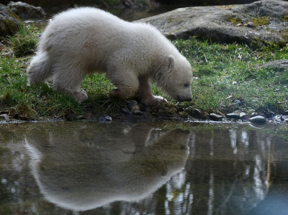 The four month young baby bear is pictured at the zoo of Hellabrunn . (Christof Stache / AFP)
