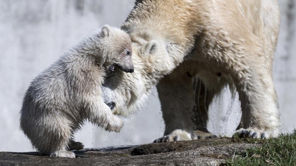 Female polar bear cub Quintana, left, and its mother Giovanna play the enclosure at the Hellabrunn Zoo in Munich. (Sven Hoppe/ AP)