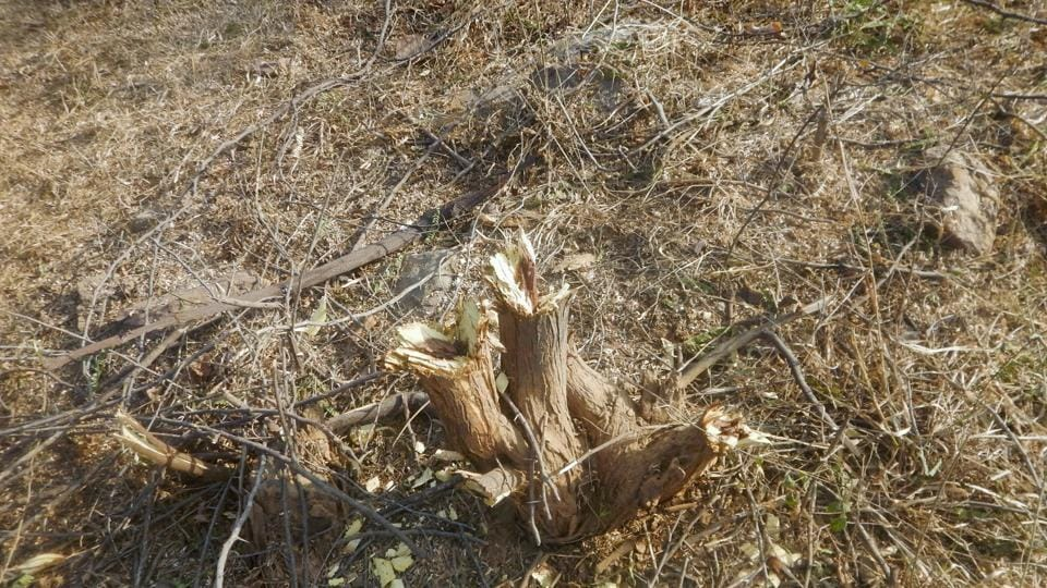 Illegal tree felling incidents are frequently reported in Gurgaon.