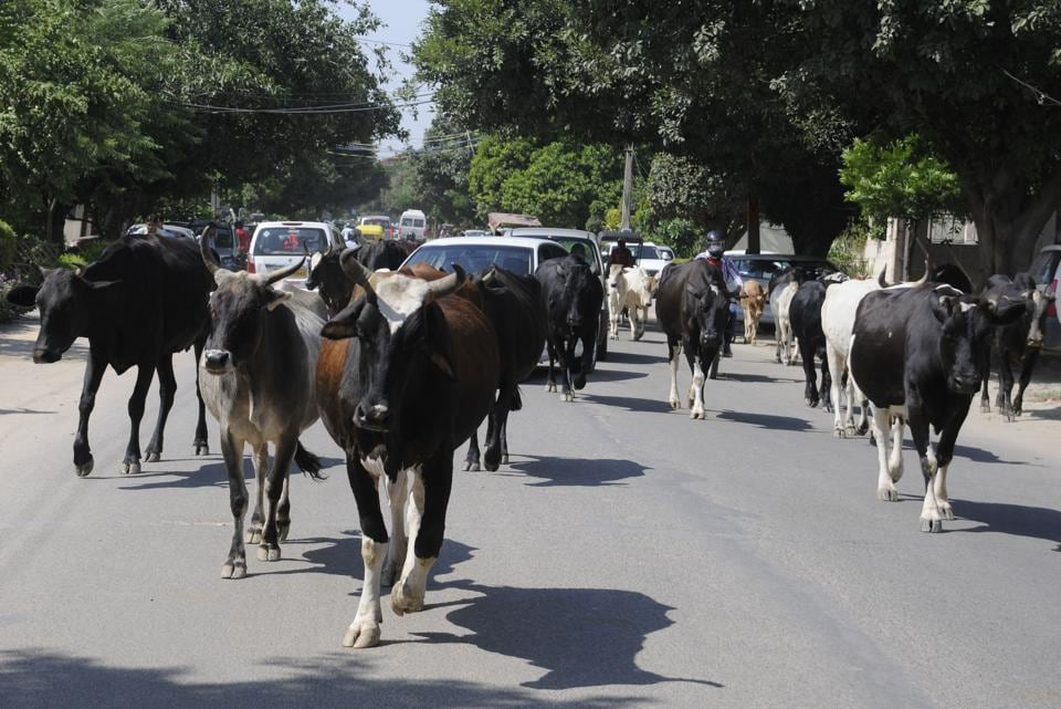 Gurgaon,cow shelters,cow slaughter