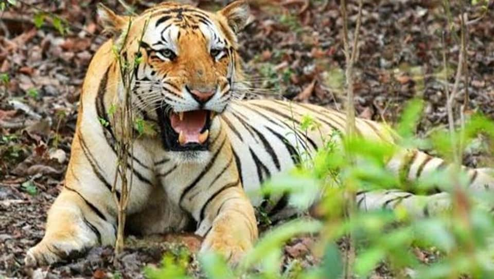 A tiger has a certain image to live up to and, it is not only important for it to look like a tiger, it is also important to eat like one.