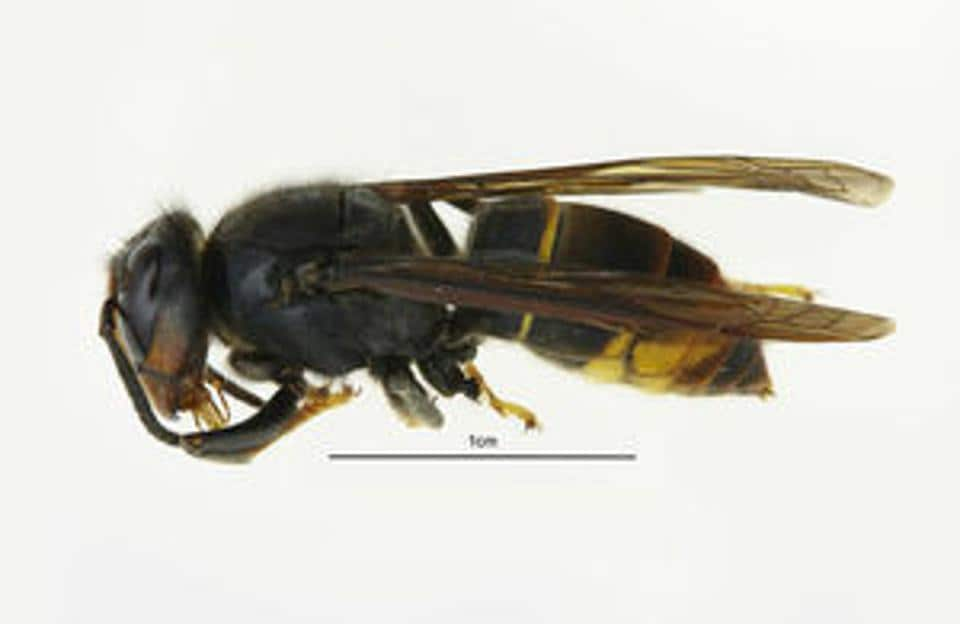 India is among the geographical distribution where the Asian hornet is known to live.