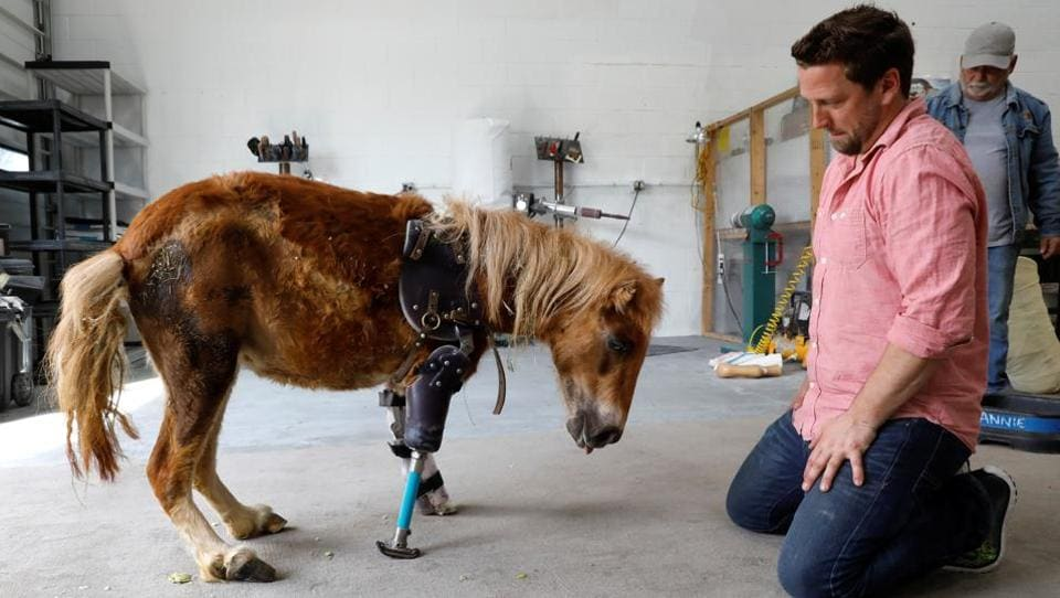 Derrick Campana kneels beside Angel Marie, a three-legged mini horse who wears a prosthetic leg made by Campana. (Kevin Lamarque / Reuters)