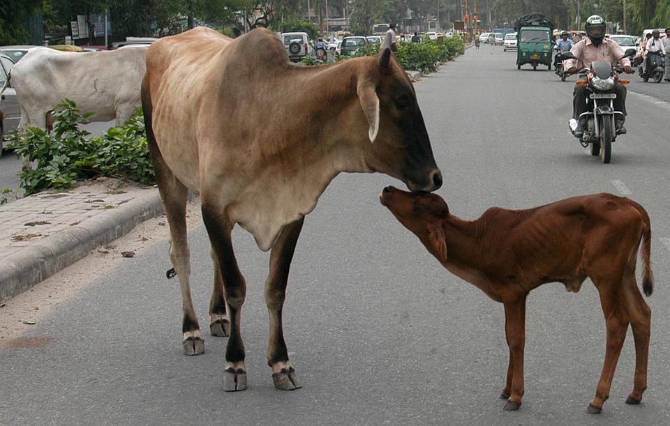Ostracised,Shivpuri,Cow