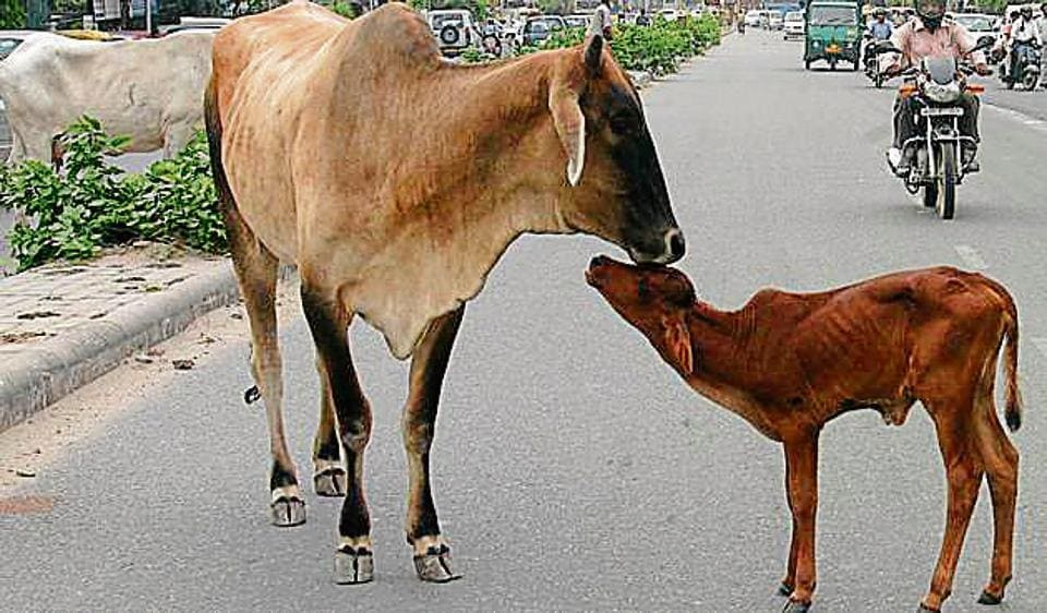 Rajasthan has 2,185 registered gaushalas which tend to 6.68 lakh cows and oxen, according to figures of the state's cow department.