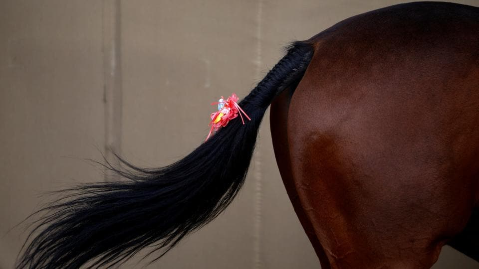 A tail of a horse is decorated with a bow during the religious Ghode Jatra festival, organised by the Nepal army. (Navesh Chitrakar/REUTERS)