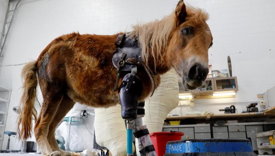 Angel Marie, a three-legged mini horse who wears a prosthetic leg made by Derrick Campana of Animal Ortho Care, looks up from her feeding bowl during a visit with Campana in Sterling, Virginia. (Kevin Lamarque / Reuters)
