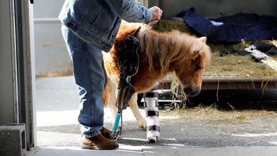 Owner Lennie Green of Industry Maine puts a prosthetic leg made by Derrick Campana on Angel Marie, a three-legged mini horse, during a visit to Campana at Animal Ortho Care . (Kevin Lamarque / Reuters)