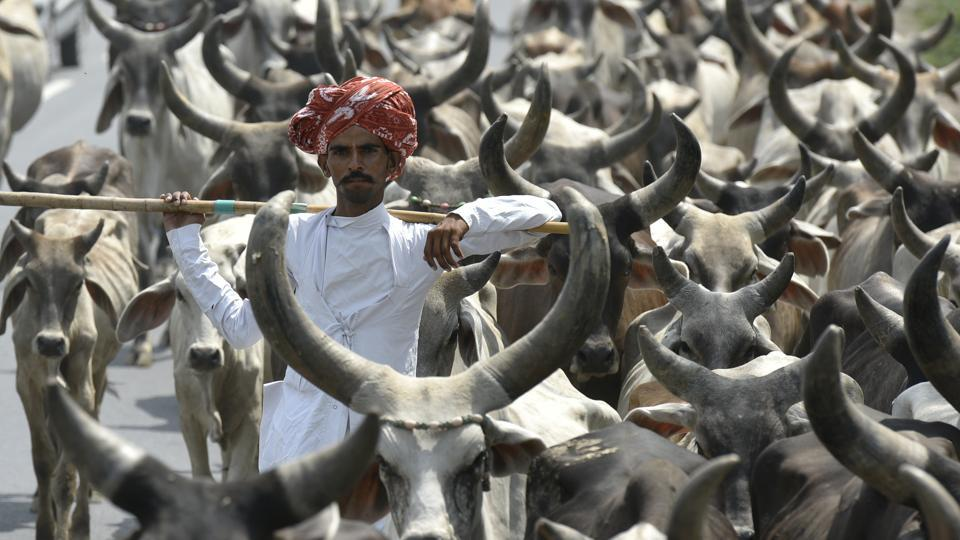 A nan seen with his cattle on a national highway.