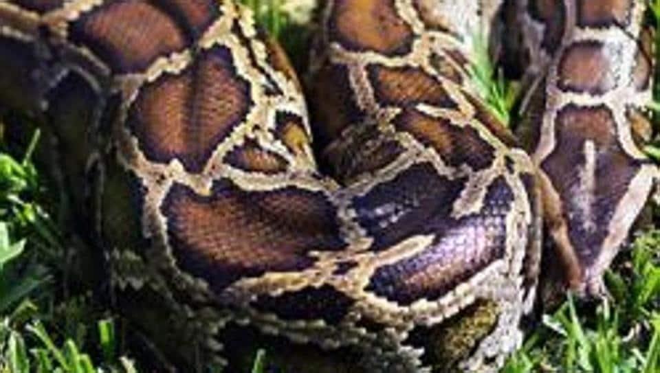 Indonesia,Python,Python swallows man whole