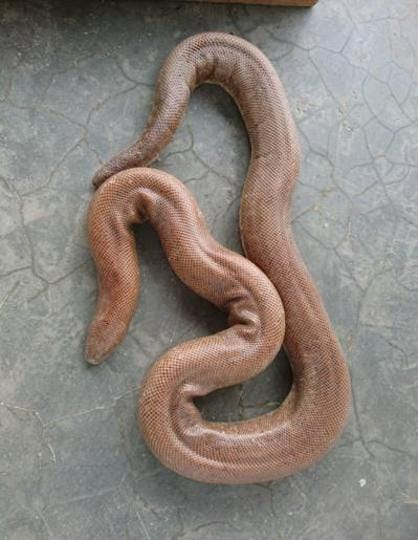 The sand boa snake faces possible extinction owing to its rampant smuggling on Bihar-Nepal border.