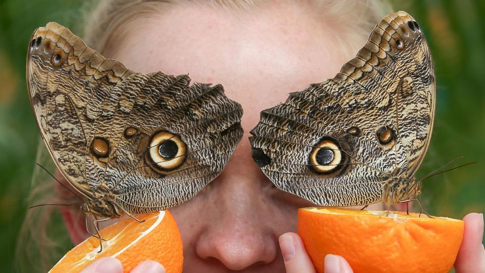 A visitor poses for a picture with Owl butterflies during a photocall for the 'Sensational Butterflies' exhibition at the Natural History Museum in London. (Daniel Leal-Olivas / AFP)