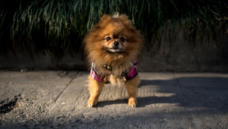 A dog dressed in clothing on a street in Shanghai. Poodles in pink dresses, Pekinese wearing shirts, a Pomeranian in sneakers and a raincoat -- the sidewalks of Shanghai can sometimes seem like catwalks gone to the dogs.  (Johannes Eisele/AFP)