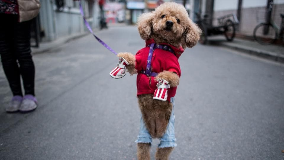Chinese adore their pet canines, often dressing them up in eye-catching outfits, and nowhere are such furry fashionistas more conspicuous than in China's commercial hub. (AFJohannes Eisele/AFP)