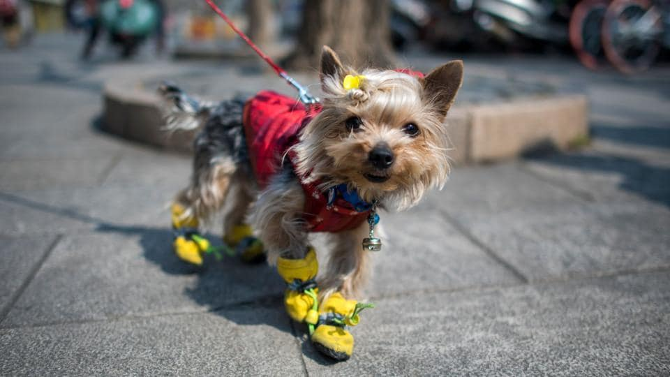 Pet owners like to dress up their pets, the way they would their own children, said a woman surnamed Huang as she walked her two fluffy brown poodles, one with a pink bowtie and the other wearing a blue one, through a central Shanghai neighbourhood. (Johannes Eisele/AFP)