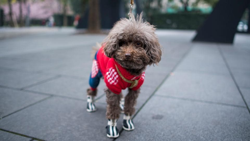 At least 40 percent of pet merchants in China sell pet clothing, according to Yourpet Market Research Institute, which studies the country's huge pet industry. (Johannes Eisele/AFP)