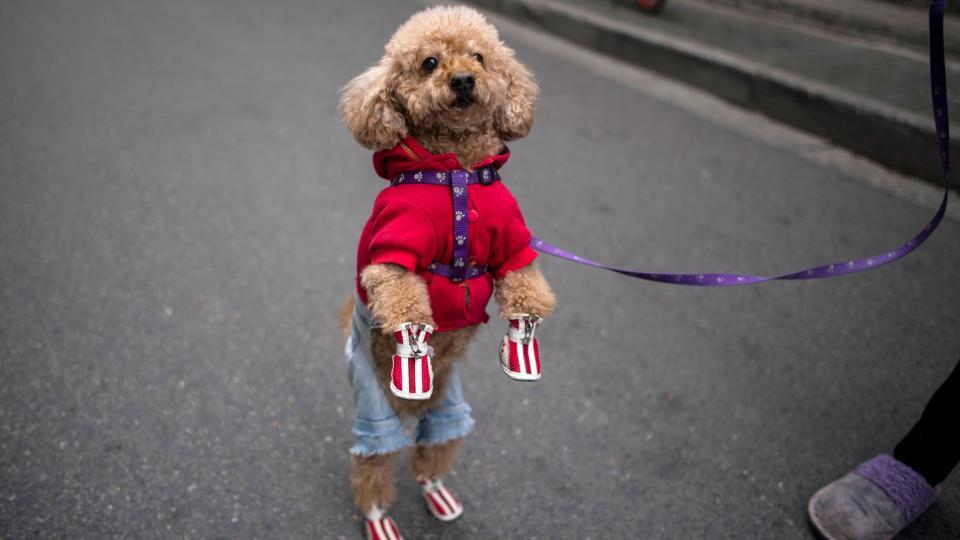 "The high rate of dog ownership prompted the city in 2011 to impose a ""one-dog policy"".  (Johannes Eisele/AFP)"
