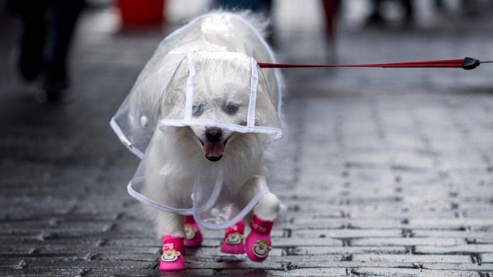A dog dressed in clothing on a street in Shanghai.  (Johannes Eisele/AFP)