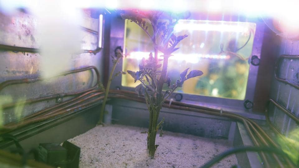 In this March 16, 2017 photo, a potato plant grows inside a Mars simulator in Lima, Peru.