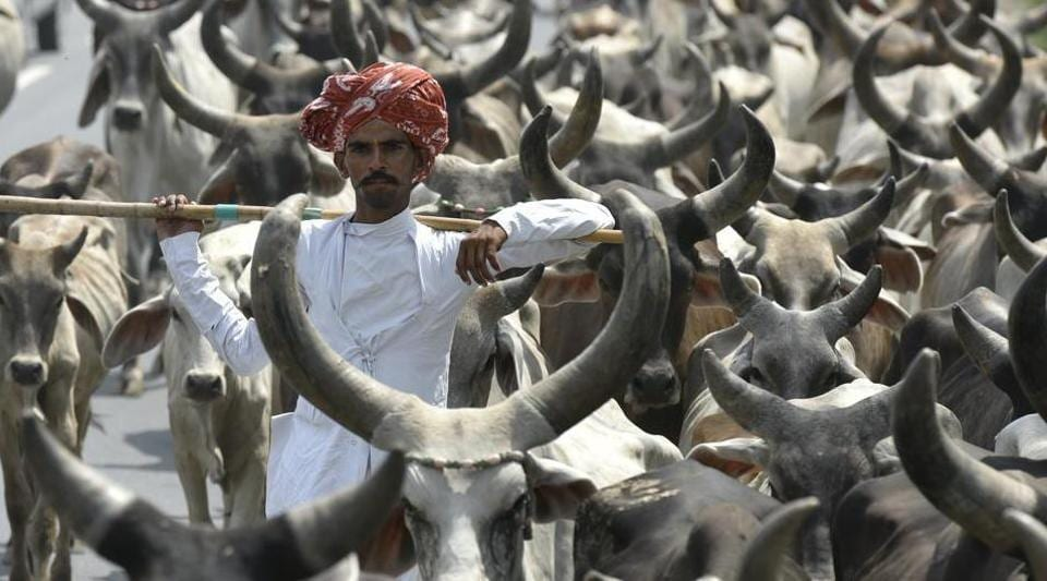 Life imprisonment for cow slaughter in Gujarat as Assembly passes amendments