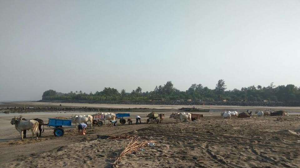 Sand being carted away by bullock carts at Kihim beach.