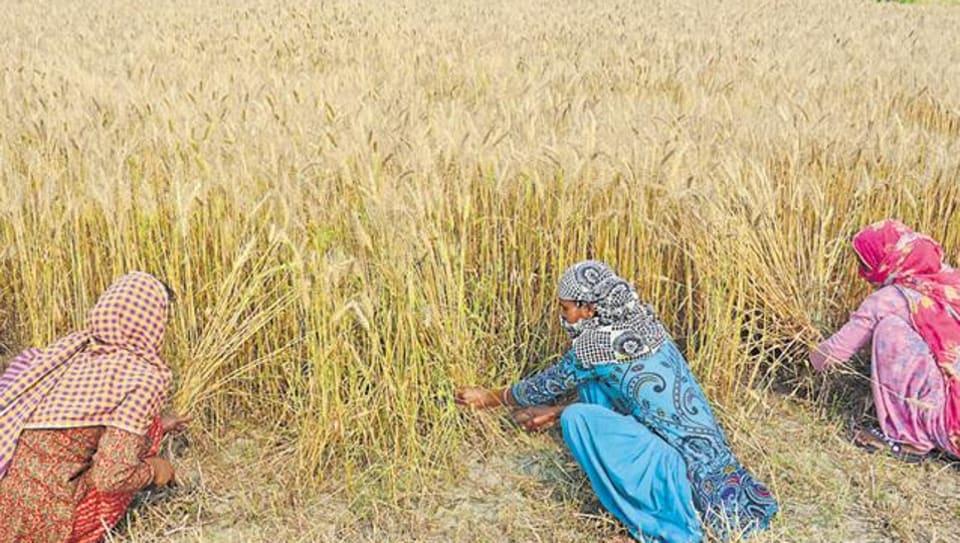 Ludhiana DC,wheat harvesting,Pradeep Aggarwal