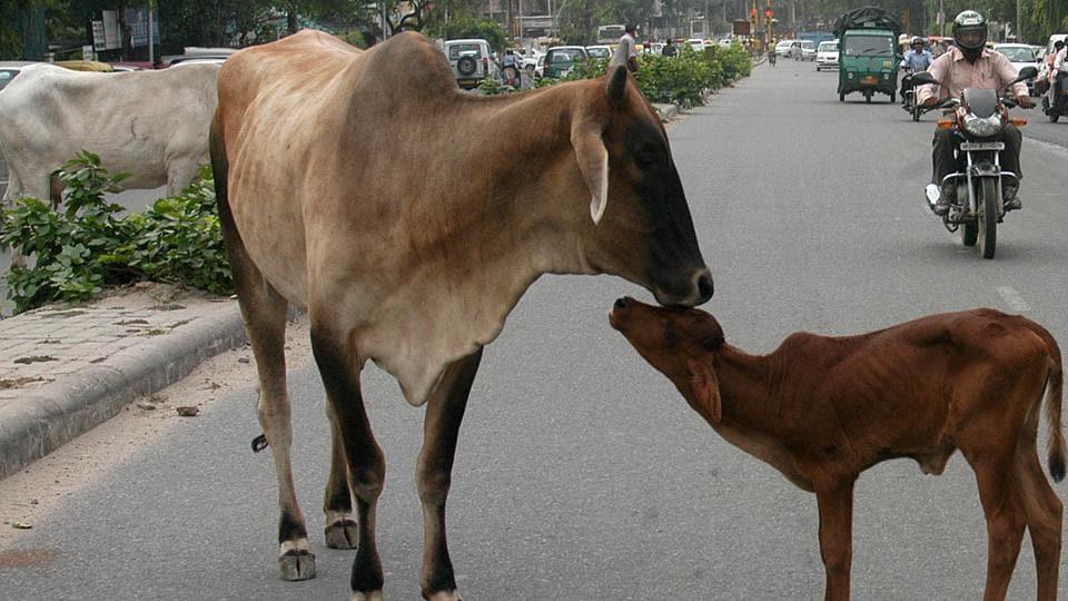 uttarakhand news,cow sheds,Gujarat