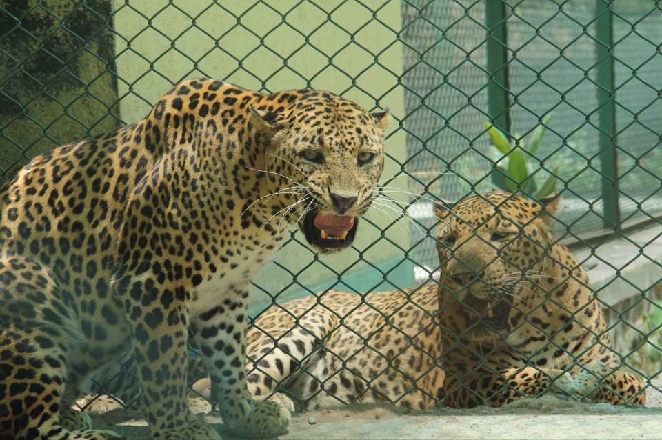 Forest officials said if a leopard is trapped and relocated, another animal from SGNP may take over the abandoned territory.