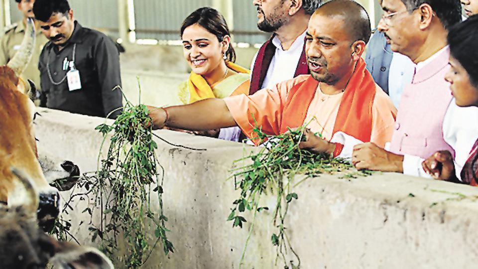 UP chief minister Yogi Adityanath feeds cows flanked by Mulayam Singh Yadav's daughter-in -law Aparna Yadav and deputy CM Dinesh Sharma during his visit to Kanha Upvan on Friday.