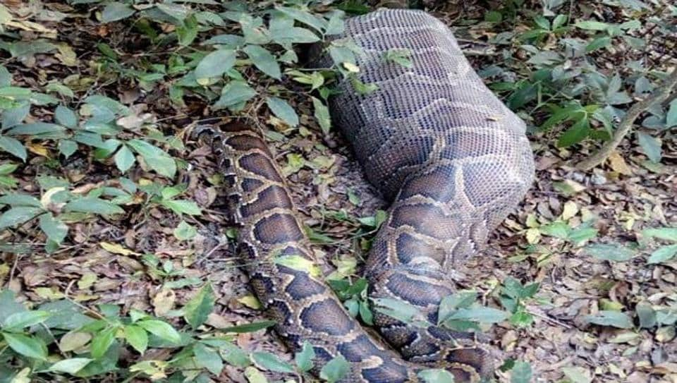The python, which has gone into a semi-conscious state after swallowing the deer, will take at least two weeks to digest it.