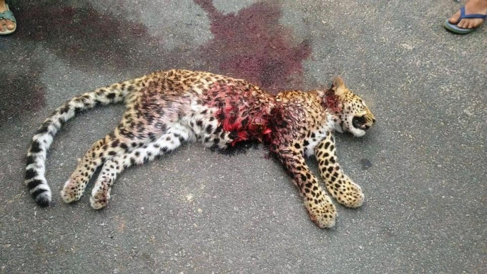 The one-a-half-year-old leopard that was run over by a vehicle in Uttarakhand's Bageshwar district  on Friday night.