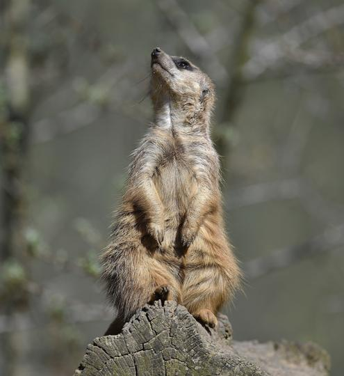 A suricate takes a sunbath on a sunny warm spring day at the zoo in Gelsenkirchen, Germany. (Martin Meissner / AP)