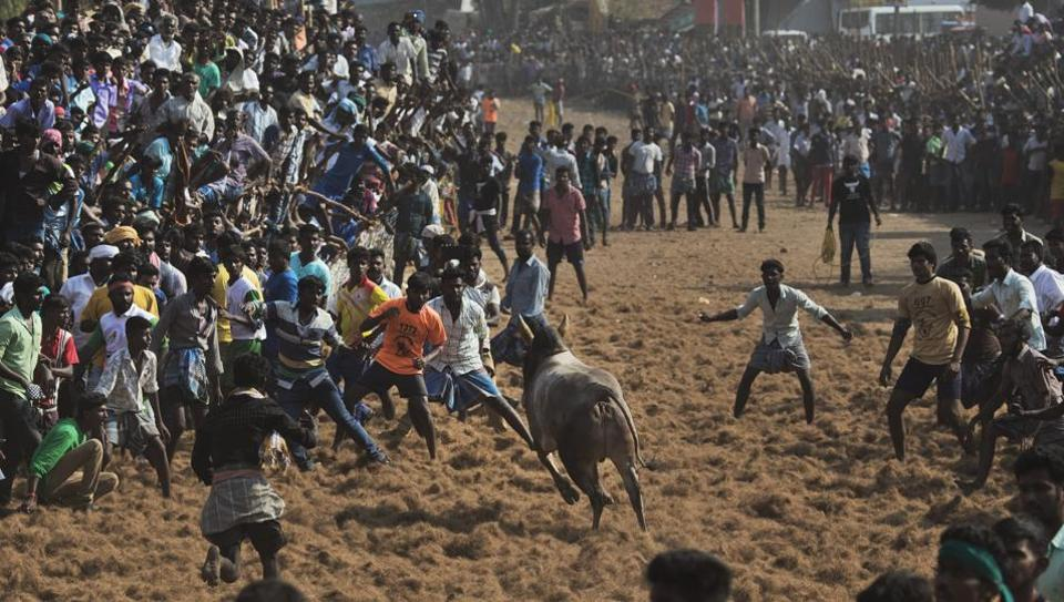 The bull taming sport was held in Keezhakurichi in Pudukottai district after six years and drew huge crowds.