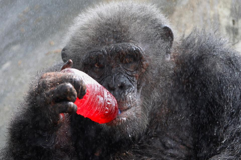 A chimpanzee drinks a sweet refreshment as it is sprayed with water on a hot day at Dusit zoo in Bangkok, Thailand. (Chaiwat Subprasom / REUTERS)