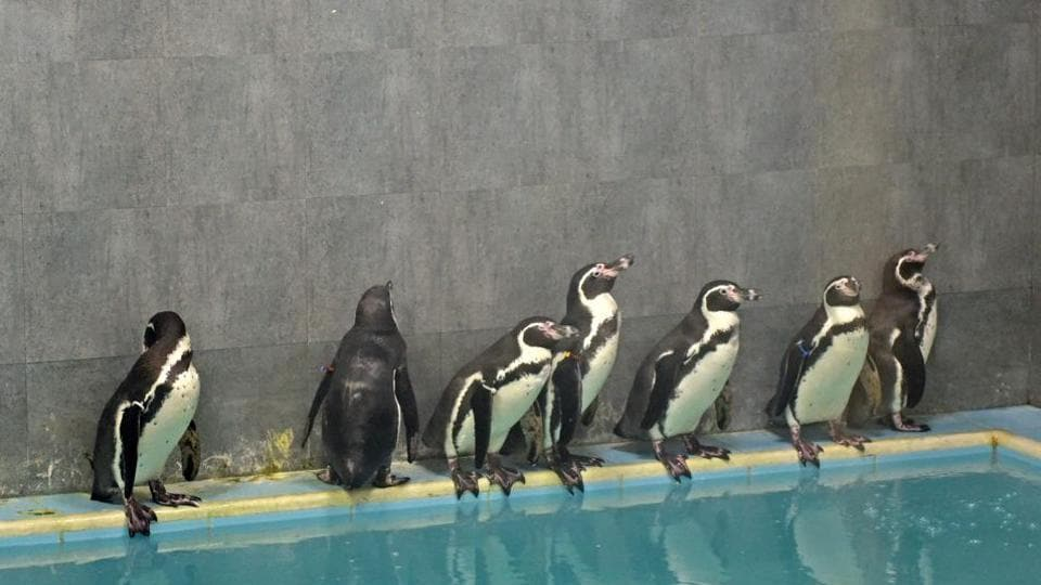 Six of zoo's 7 penguins have paired up, are at 'sub-adult' age when mating starts.