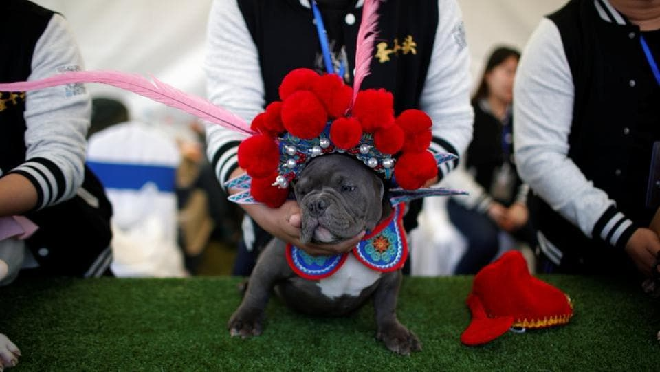 A dog wearing a Chinese traditional opera costume is seen during a dog show in Tianjin, China on April 1, 2017. (REUTERS)